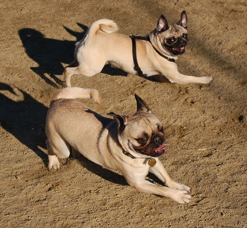 Sheba and Friends at the Mountain View Dog Park Sunday February 5, 2006