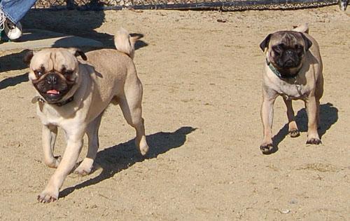 Smiling Pugs - February 19, 2006