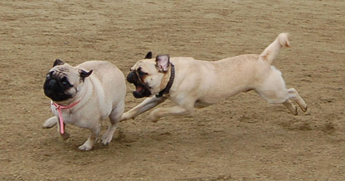 Wet Pugs - March 5, 2006