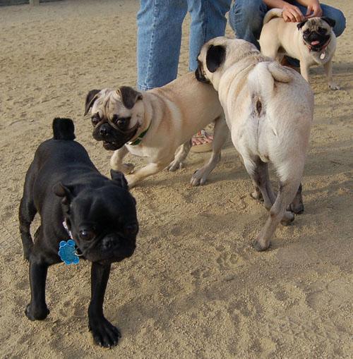 Pug and Hugs - Mountain View Dog Park Fun with Sheba, Rio and the Gang