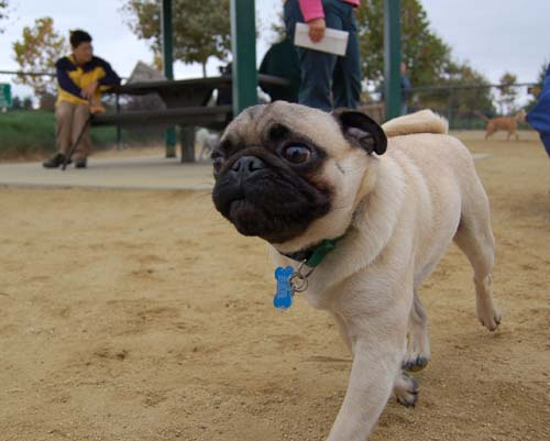 Pugs Pugs Pugs Mountain View Dog Park Fun October 15, 2005
