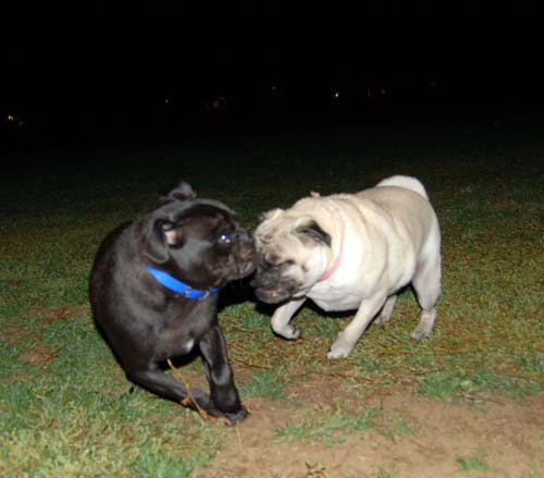 Late Night with Sheba and Rio - click here for more hug pug photos