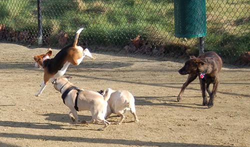 Chase and Race at the Mountain View Dog Park