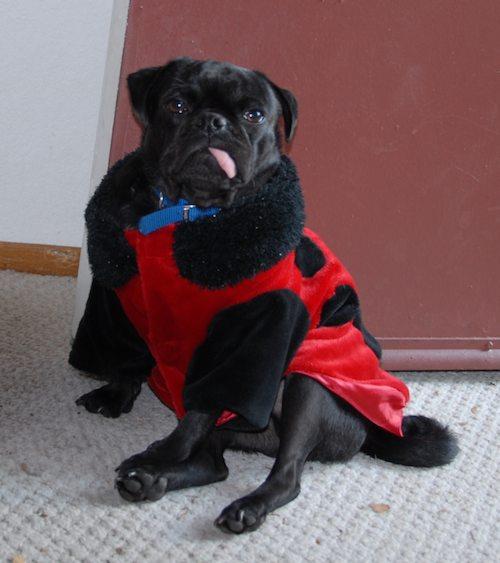 Rio and Sheba Lady Pugs - Happy Halloween - October 31 2007!