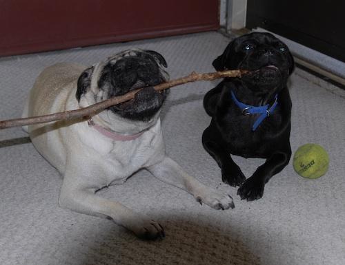 Rio & Sheba Share a Stick
